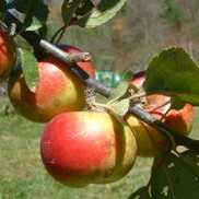 Pomme d'Api or Lady Apple by Vintage Virginia Apples